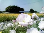 笠岡の花-1